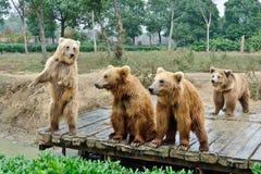 Καφετιές αρκούδες Στοκ Εικόνες