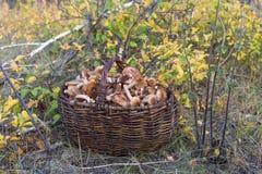 Καφετιές δασικές ποικιλίες shimeji μανιταριών Στοκ Εικόνα