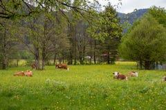 Καφετιές και άσπρες γαλακτοκομικές αγελάδες Στοκ Φωτογραφίες