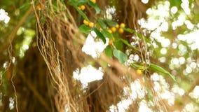 Καφετιές μακροχρόνιες εναέριες ρίζες της μεγάλης ινδικής banyan ένωσης δέντρων κάτω στον ήλιο και του αέρα Πράσινα φύλλα με τα κί φιλμ μικρού μήκους