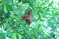 Καφετιές φωλιές μυρμηγκιών στα δέντρα, πυκνό φύλλωμα στοκ φωτογραφία