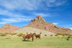 Καφετιοί λάμα στο altiplano στοκ φωτογραφία με δικαίωμα ελεύθερης χρήσης