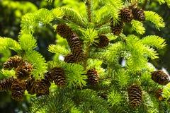 Καφετιοί κώνοι πεύκων στο δέντρο πεύκων Στοκ εικόνα με δικαίωμα ελεύθερης χρήσης