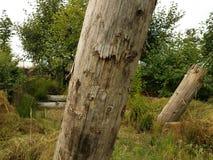 Καφετιοί νεκροί κορμοί δέντρων και πράσινες δέντρα και χλόες στοκ φωτογραφία