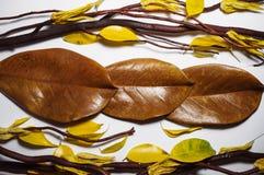 Καφετιοί ξηροί κλάδοι, καφετιά φύλλα magnolia και κίτρινο φθινόπωρο leav Στοκ εικόνες με δικαίωμα ελεύθερης χρήσης