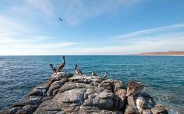 Καφετιοί πελεκάνοι Καλιφόρνιας που σκαρφαλώνουν στη δύσκολη επάνθιση στην παραλία Cerritos σε Punta Lobos στη Μπάχα Καλιφόρνια Με στοκ φωτογραφία με δικαίωμα ελεύθερης χρήσης