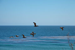 Καφετιοί πελεκάνοι που πετούν πέρα από τον ωκεανό Στοκ Εικόνα