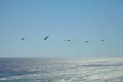 Καφετιοί πελεκάνοι που πετούν πέρα από τον ωκεανό Στοκ φωτογραφία με δικαίωμα ελεύθερης χρήσης