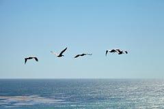 Καφετιοί πελεκάνοι που πετούν πέρα από τον ωκεανό Στοκ Φωτογραφία
