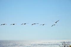 Καφετιοί πελεκάνοι που πετούν πέρα από τον ωκεανό Στοκ Εικόνες