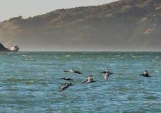 Καφετιοί πελεκάνοι που πετούν πέρα από το Ειρηνικό Ωκεανό στον κόλπο του Σαν Φρανσίσκο με τους λόφους και τη βάρκα στο υπόβαθρο στοκ εικόνες με δικαίωμα ελεύθερης χρήσης