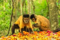 Καφετιοί Capuchin πίθηκοι Στοκ Εικόνα