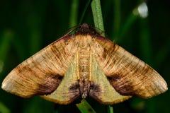Καψαλισμένος σκώρος φτερών (dolabraria Plagodis) Στοκ Εικόνες