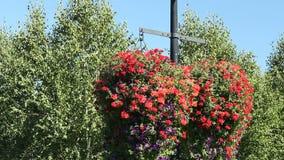 Καλάθια λουλουδιών πετουνιών φιλμ μικρού μήκους