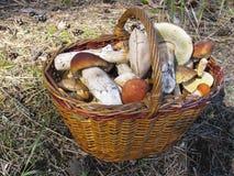 Καλάθι με τα μανιτάρια σε ένα δάσος πεύκων στα κωνοφόρα απορρίματα Στοκ εικόνα με δικαίωμα ελεύθερης χρήσης