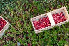 Καλάθι με τα φρέσκα τα βακκίνια σε ένα υπόβαθρο του του βακκίνιου bushe Στοκ Εικόνα