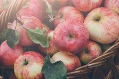 Καλάθι με τη συγκομιδή μήλων στη χλόη στον κήπο, τοπ άποψη Στοκ φωτογραφίες με δικαίωμα ελεύθερης χρήσης