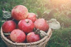 Καλάθι με τη συγκομιδή μήλων στη χλόη στον κήπο, τοπ άποψη Στοκ Φωτογραφίες