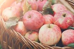Καλάθι με τη συγκομιδή μήλων στη χλόη στον κήπο, τοπ άποψη Στοκ Εικόνες