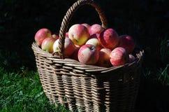 Καλάθι των κόκκινων μήλων στον κήπο, φθινόπωρο Στοκ Εικόνες