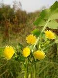 Καλά κίτρινα λουλούδια Στοκ Εικόνες