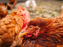 Καλά-καλλωπισμένες κόκκινες κότες στο χωριό Κοτόπουλα που περπατούν σε αγροτικό Στοκ Εικόνες