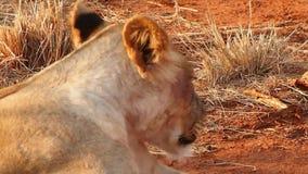Καλά ταϊσμένα λιοντάρια που στηρίζονται στην επιφύλαξη παιχνιδιού Madikwe απόθεμα βίντεο