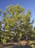 Καλαβρέζα ή τουρκικά δέντρα πεύκων Στοκ φωτογραφία με δικαίωμα ελεύθερης χρήσης