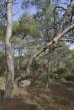 Καλαβρέζα ή τουρκικά δέντρα πεύκων Στοκ Φωτογραφίες
