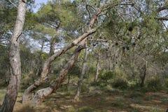 Καλαβρέζα ή τουρκικά δέντρα πεύκων Στοκ Εικόνες