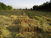 Καλαμιές ρυζιού στοκ εικόνα με δικαίωμα ελεύθερης χρήσης