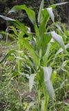 Καλαμπόκι, πράσινο στοκ εικόνες