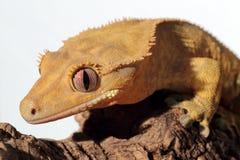 Καληδονιακό λοφιοφόρο gecko στο άσπρο υπόβαθρο Στοκ εικόνα με δικαίωμα ελεύθερης χρήσης