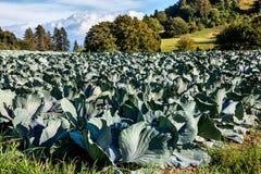 Καλλιέργεια λάχανων Στοκ φωτογραφία με δικαίωμα ελεύθερης χρήσης
