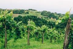 Καλλιέργεια αμπέλων στο νότιο Styria Στοκ Εικόνες