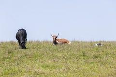 Καλλιέργεια βοοειδών Στοκ Φωτογραφία
