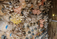 Καλλιέργεια μανιταριών ostreatus Pleurotus Στοκ Φωτογραφία