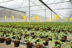 Καλλιέργεια ντοματών στοκ εικόνες με δικαίωμα ελεύθερης χρήσης