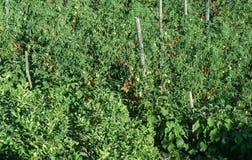 Καλλιέργεια ντοματών Στοκ Εικόνες