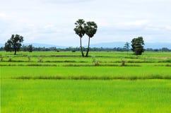 Καλλιέργεια ρυζιού Στοκ φωτογραφίες με δικαίωμα ελεύθερης χρήσης