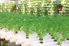 Καλλιέργεια σέλινου σε μια φυτεία, Κίνα στοκ εικόνα