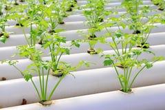 Καλλιέργεια σέλινου σε μια φυτεία, Κίνα στοκ φωτογραφία