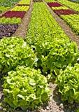 Καλλιέργεια σαλάτας Στοκ Φωτογραφίες