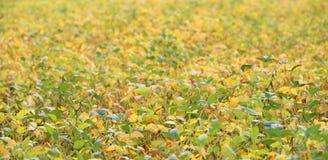 Καλλιέργεια σόγιας με σχεδόν τον ώριμο απέραντο τομέα ι λοβών Στοκ εικόνα με δικαίωμα ελεύθερης χρήσης
