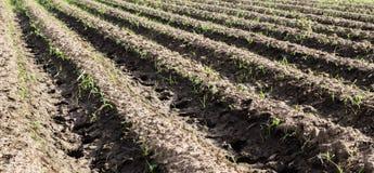 Καλλιέργεια του λαχανικού (καλαμπόκι) Στοκ εικόνες με δικαίωμα ελεύθερης χρήσης