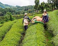 Καλλιέργεια τσαγιού στην Ταϊλάνδη 7 Στοκ Εικόνες
