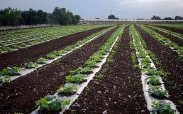 Καλλιέργεια των λαχανικών Στοκ εικόνα με δικαίωμα ελεύθερης χρήσης