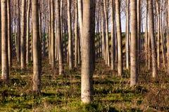 Καλλιέργεια Cottonwoods Στοκ Φωτογραφία