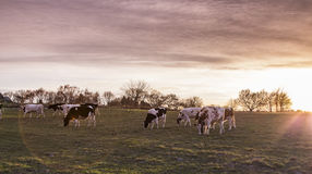 Καλλιεργήσιμο έδαφος λιβαδιού αγελάδων στο ηλιοβασίλεμα Στοκ Εικόνες