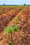 Καλλιεργήσιμο έδαφος μανιόκων Στοκ φωτογραφία με δικαίωμα ελεύθερης χρήσης